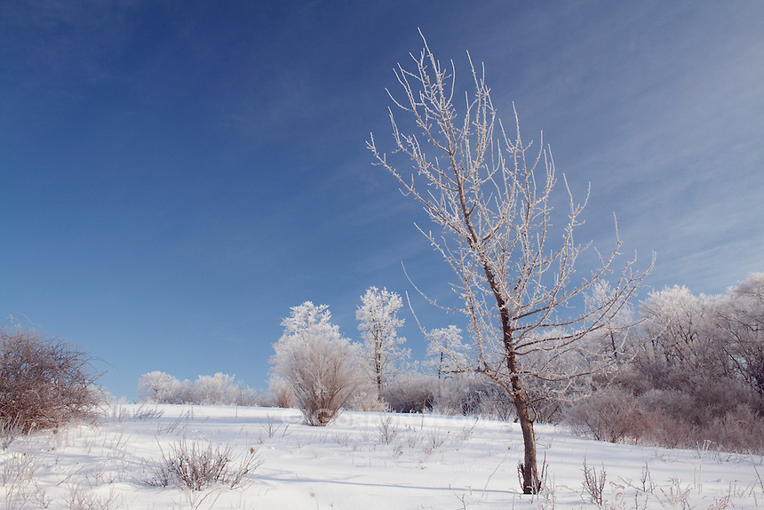 Hoar Frost on Trees and Deep Snow Against Clear Blue Sky mid-Morning - Horizontal