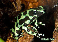 0930-07pp  Dendrobates auratus ñ Green and Black Arrow Frog ñ Green and Black Dart Frog  © David Kuhn/Dwight Kuhn Photography