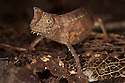 Stump-tailed chameleon (Brookesia superciliaris) camouflaged amongst leaf litter on rainforest floor, Andasibe-Mantadia National Park, Eastern Madagascar.
