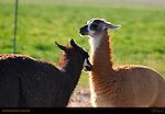 Llama Courtship Ritual, The Approach, Loa, Utah