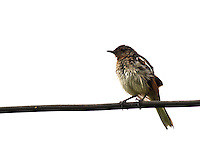 Stock photo: Small Indian robin sitting on cable wire.