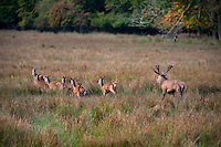 10-10-2012: A red deer stag gathers up his hinds and drives them into the woods for protection during the rutting (mating) season  in the Killarney Demesne on Wednesday..Picture by Don MacMonagle
