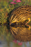 Eastern Meadowlark, Sturnella magna,adult drinking, Willacy County, Rio Grande Valley, Texas, USA