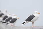 Crystal Pier, San Diego, California; Western Gulls (Larus occidentalis) lined up on the pier railing