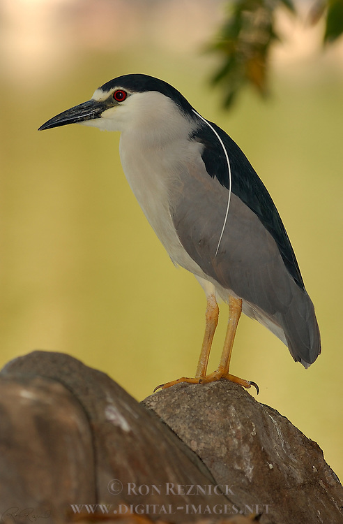 Black-crowned Night Heron Close Portrait Nycticorax nycticorax LA Arboretum Southern California