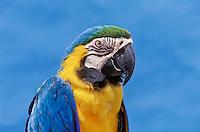 Blue-And-Gold Macaw (Ara ararauna).  Panama to Paraguay.