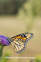 03536-047.11 Monarch (Danaus plexippus) on Pasture Thistle (Cirsium discolor) Prairie Ridge SNA,  Marion Co. IL
