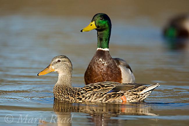 Mallard (Anas platyrhynchos), female and male, Orange County, California, USA