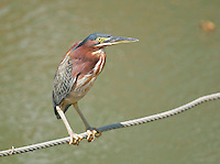 Green heron, Butorides virescens, perched on a wire at the edge of the Tarcoles River, Costa Rica