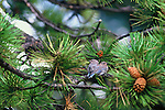 A fledgling mountain bluebird (Sialia currucoides) pair sits in a pine tree in Rocky Mountain National Park, Colorado.