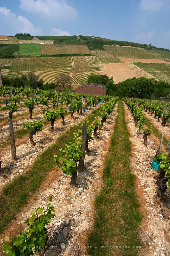Vineyard. Monts Damnes. Sauvignon Blanc. Domaine Henri Bourgeois, Chavignol, Sancerre, Loire, France