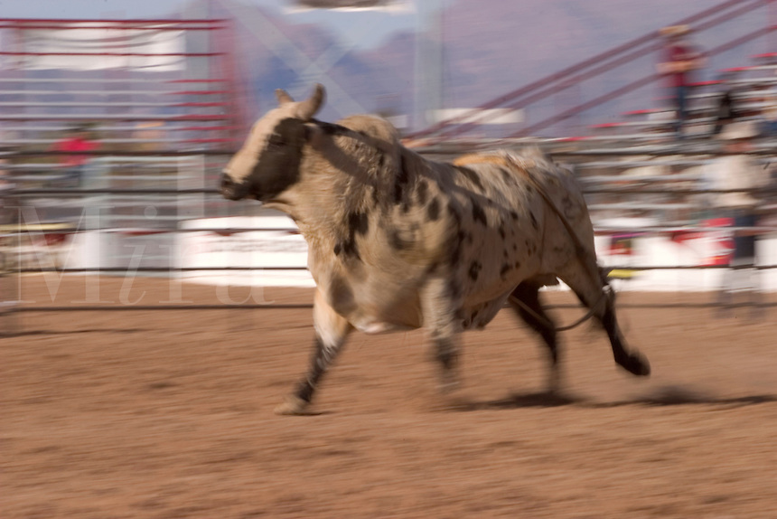 At the Tucson Rodeo, Bulls run free after dumping riders in the Bull Riding competition in Tucson, Arizona..