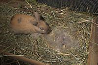 Zwergkaninchen, Zwerg-Kaninchen, Vater beschnuppert seine wenige Tage alte, noch blinde Junge in ihrem Nest im Stall, dwarf rabbit