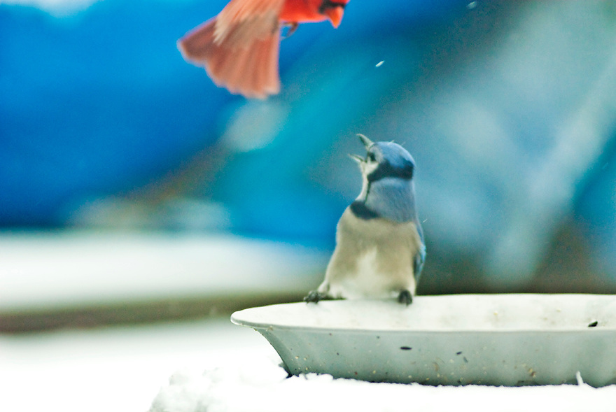 Cardinal attacks Blue Jay at the bird feeder in Valparaiso, Indiana by Liisa Roberts
