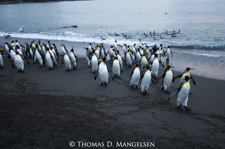 King Penguins leave the ocean in Gold Harbour on South Georgia Island.