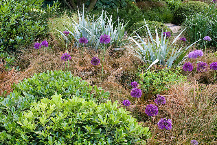 Astelia with Allium and ornamental grass and Euphorbia, with shrub in the foreground ground and mounded boxwood at rear for a pretty combination of plants, shape and textures in the garden, spiky and soft contrasts