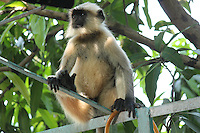 A common langur sitting on railing looking eagerly at something