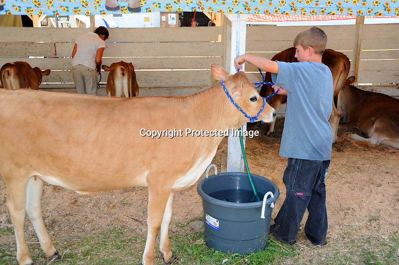 Young boy tending a heifer at Cheshire Fair in Swanzey, New Hampshire USA