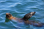 California sea lion swimming