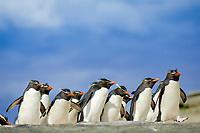 southern rockhopper penguin, Eudyptes chrysocome chrysocome, a subspecies of rockhopper penguin, Eudyptes chrysocome, Saunders Island, Falkland Islands, Atlantic Ocean
