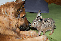 """Feldhase, Feld-Hase, Hase, Aufzucht Pflege eines verwaisten Junghasen. Pflegebedürftiges, in Menschenhand gepflegtes, zahmes Jungtier spielt mit Hund, Freundschaft zwischen Hund und Wildtier, """"Laska"""". Jungtier, Tierbaby, Tierbabies, Tierbabys, Lepus europaeus, hare, hares"""