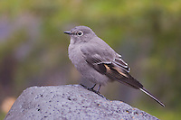 Townsend's Solitaire, Myadestes townsendi, adult perched, Yellowstone NP,Wyoming, September 2005