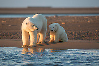 Female polar bear and young cub in the morning light along a gravel beach on a barrier island in the Arctic National Wildlife Refuge, Alaska.