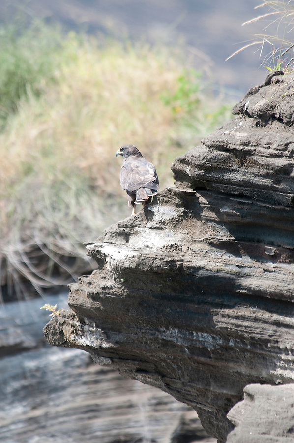 galapagos hawk on the beach of bartolome island
