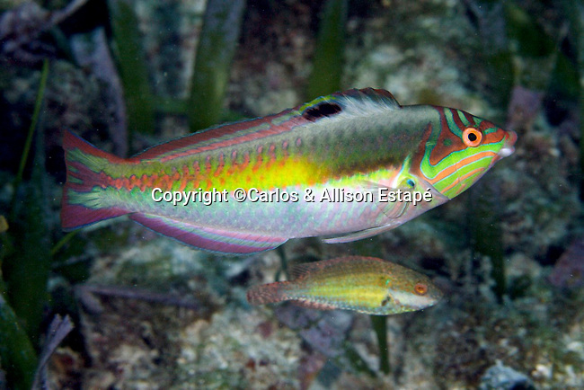 Halichoeres maculipinna, Clown wrasse, Florida Keys
