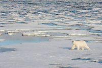 Male Polar Bear crosses the ice desert of Spitsbergen's Archipelago on his endless search for a bearded seal.