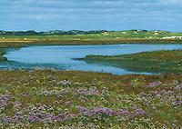 Dünentümpel, Tümpel, Gewässer zwischen den Dünen in einer Salzwiese, Salzwiesen auf Norderney, Nordsee. Gewöhnlicher Strandflieder, Halligflieder, Meerlavendel, Limonium vulgare, Marsh Rosemary, Sea Lavender, Sea-Lavender