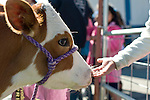 Buttercup, a Holstein Ayrshire mix, participates in the cow plop fundraiser at f Fremont Elementary School in Carson City, Nev., Friday, April 15, 2016.<br />
