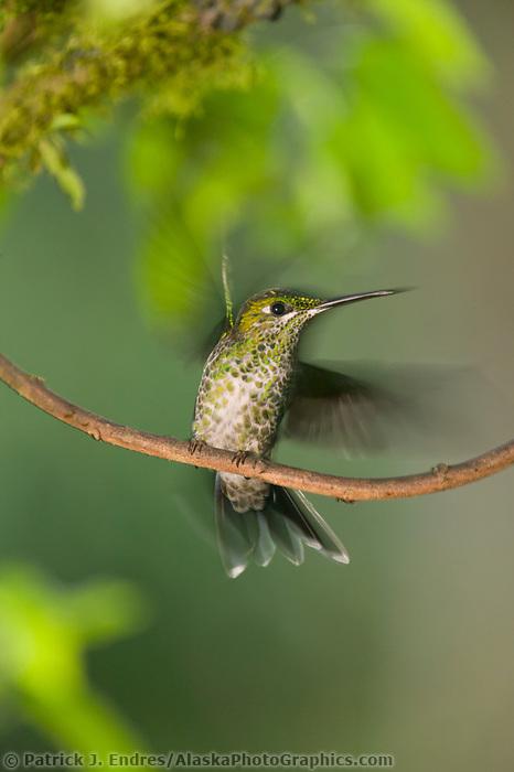 Hummingbird, Costa Rica, Central America