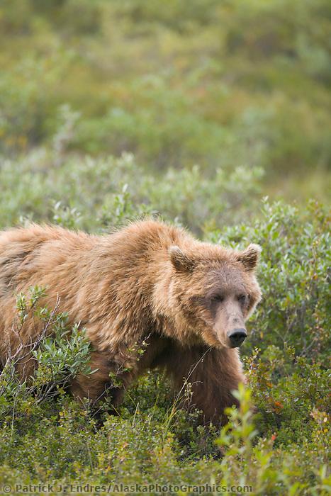Grizzly bear, Sable Pass region, Denali National Park, Alaska