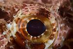 Eye detail of a scorpionfish, Scorpaenopsis oxycephalus