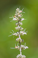 White sage, Salvia apiana, also known as bee sage or sacred sage. Native to the deserts of the southwestern U.S. This plant was photographed in a garden in Mendocino County, California.