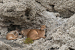 Mountain Lion (Puma concolor) mother and six month old cubs in shelter of calcium deposits near lake, Sarmiento Lake, Torres del Paine National Park, Patagonia, Chile