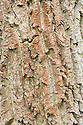 Trunk and bark of gutta-percha or hardy rubber tree (Eucommia ulmoides), late March. From central China.