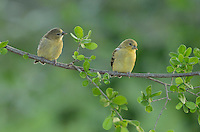 Lesser Goldfinch (Carduelis psaltria), young perched, Hill Country, Texas, USA