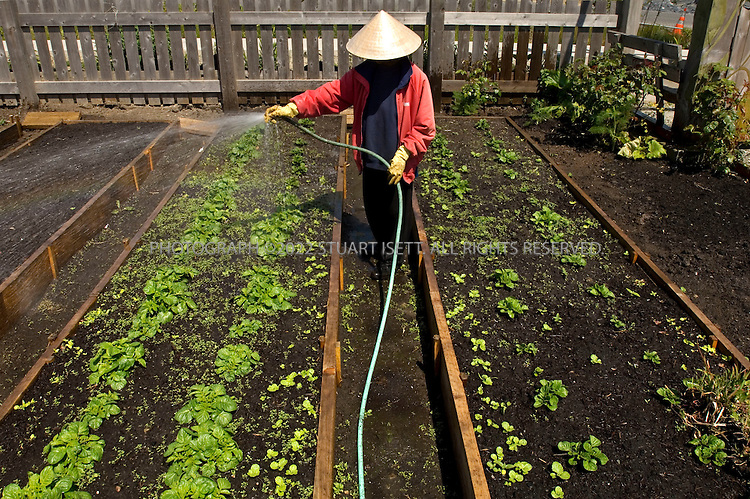 5/11/2007--Seattle, WA, USA..Khiem Nguyen, a refugee from Vietnam, works on her small farm plot at Highpoint, a housing project built by the City of Seattle. Highpoint is a showcase of sustainable building, built with energy efficient homes, green spaces and sustainable water drainage systems. Built by the Seattle Housing Authority, the High Point community covers 120 acres that once was the site of temporary military housing and a high percentage of low-income families. It aims to be a sustainable, mixed-income community in West Seattle. All the houses are built 'Green certified', which requires builders to meet environmental standards that exceed local building codes. Many of the homes also are Energy Star certified, which means homes are 15 percent more efficient than state or local energy codes...As part of the project, organic farm plots such as this have also been built so that locally-grown produce can be made and sold in the city of Seattle. The Worldwatch Institute estimates that the average food item now travels between 1,500 and 2,500 miles before people eat it, burning fossil fuels all the way so events such as this in Seattle hope to encourage people to eat more eco-friendly local cuisine. The foods are also organic, meaning fewer fossil fuels used to produce fertilizers...©2007 Stuart Isett All rights reserved.....©2007 Stuart Isett All rights reserved