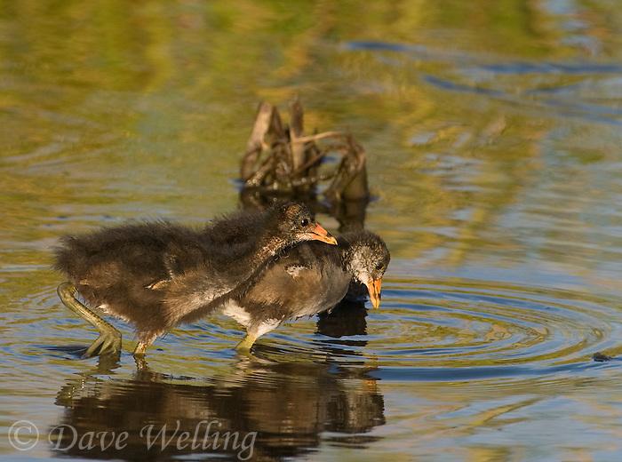 559500016 common gallinules gallinula galeata or common moorhens gallinula chloropus wild texas.Chicks in Pond.Anahuac National Wildlife Refuge, Texas