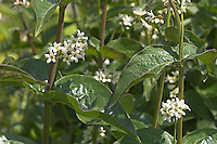 Weiße Schwalbenwurz, Vincetoxicum hirundinaria, White Swallowwort, Dompte-venin