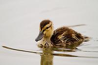Duckling, San Joaquin Wildlife Sanctuary