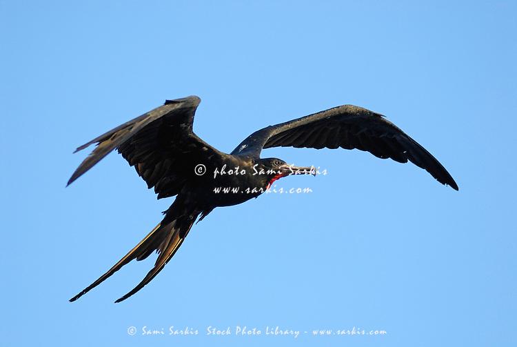Flying Great Frigate male bird (Fregata minor), Ecuador, Galapagos Archipelago,