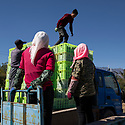 China - Ningxia - Workers piling up the cases filled with grapes that have just been harvested at Helan Qingxue Vineyard. <br /><br />During harvest time wineries rely on seasonal farm workers. Given the shortage of labour in the region, the local government relocated 120,000 people from the South of Ningxia in order to su-stain the local agricultural industry. Most of the labourers are Hui, an indigenous Muslim minority.