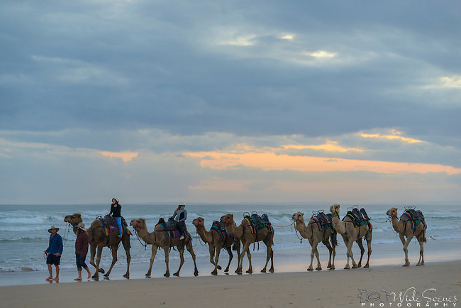 Camel rides after sunset along Stockton Beach. Anna Bay, Port Stephens, NSW, Australia