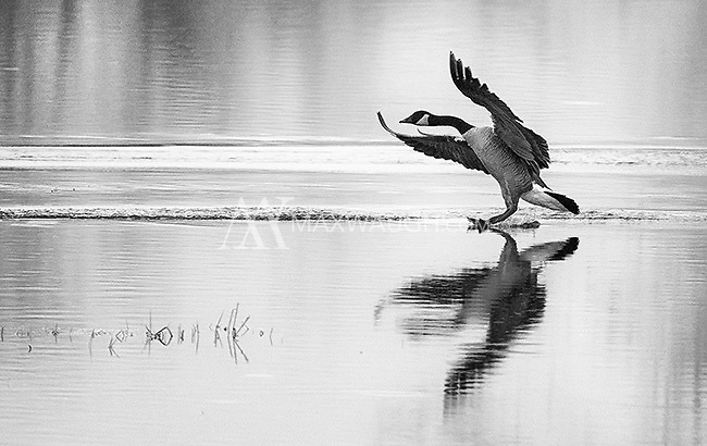 A Canada goose comes in for a landing at Nisqually Wildlife Refuge.