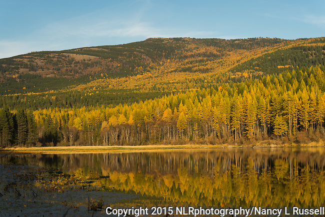 Golden tamarack trees reflecting onto Brush lake in North Idaho