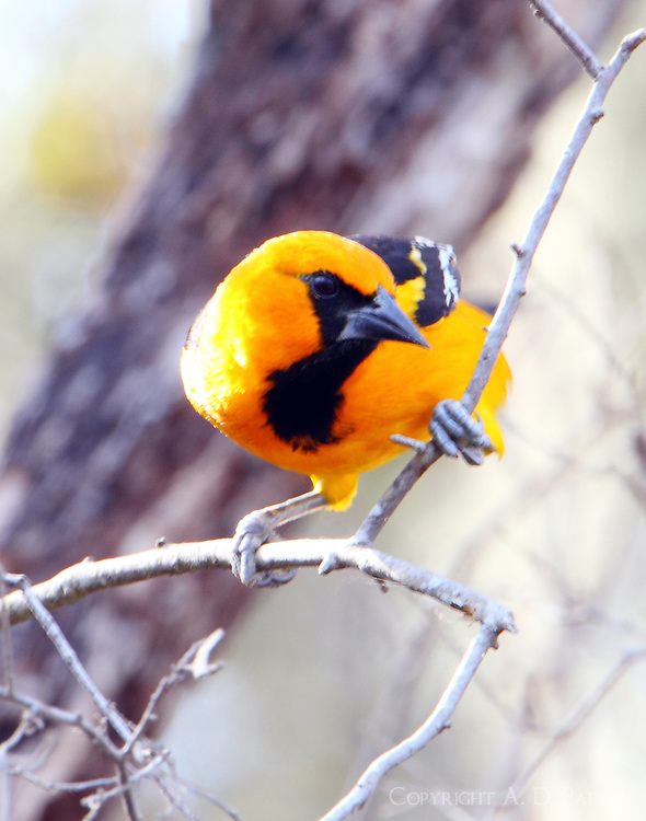 Adult altamira oriole