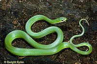 1R04-076b  Smooth Green Snake -  Opheodrys vernalis